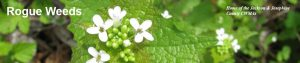 Permalink to:I.D. it!  Garlic mustard